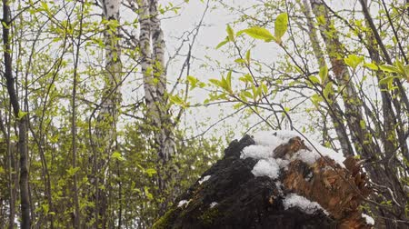 контрасты : Early spring in the forest, a stump covered with snow and young green leaves of the bird cherry