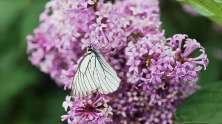 чешуекрылых : Aporia crataegi, Black Veined White butterfly in wild. White butterflies on lilac flower Стоковые видеозаписи