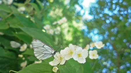 чешуекрылых : Aporia crataegi, Black Veined White butterfly in wild. White butterflies on viburnum flower. Slow motion 240 FPS