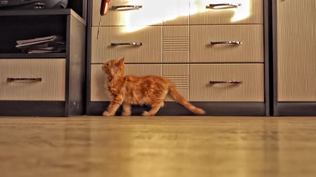 coon : Cute red kitten of Maine Coon in the sunny room. Slow motion 100 FPS