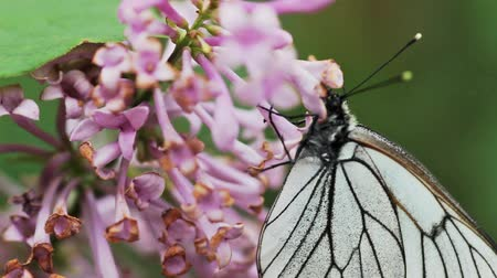 motyl : Aporia crataegi, Black Veined White butterfly in wild. White butterflies on lilac flower. Slow motion 240 FPS