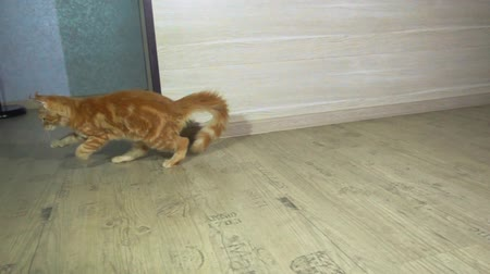 coon : Cute Red Kitten of Maine Coon playing in the room. Slow motion 500 FPS