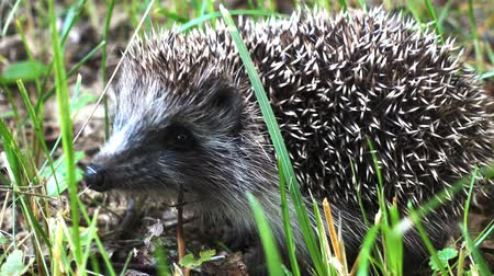 еж : Wild hedgehog walks on green grass. Hedgehog in the nature Стоковые видеозаписи