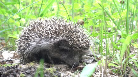 prickly : Wild hedgehog walks on green grass. Hedgehog in the nature Stock Footage