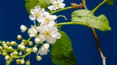 blooming time lapse : Bird-cherry flower blooming time lapse. Blue background Stock Footage