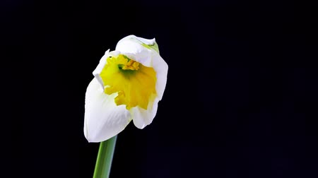 żonkile : Opening Narcissus Flower on black background