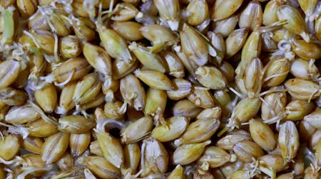 germinated : Organic grains of malted barley to prepare beer