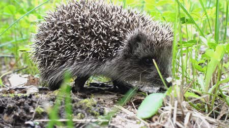 с шипами : Wild hedgehog walks on green grass. Hedgehog in the nature Стоковые видеозаписи