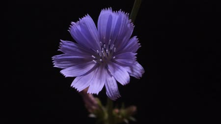 kırılganlık : Timelapse of blue chicory flower blooming on black background