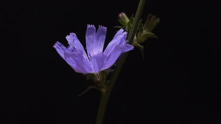 chabry : Timelapse of blue chicory flower blooming on black background