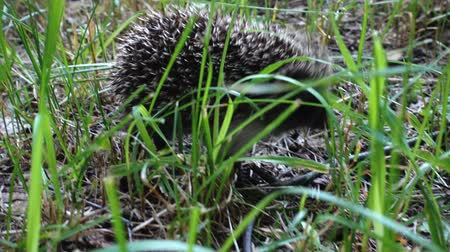 europaeus : Wild hedgehog walks on green grass. Hedgehog in the nature Stock Footage