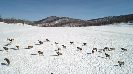 лань : Siberian deer. Wild siberian deer in the winter forest