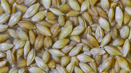 kiemen : Organic grains of malted barley to prepare beer. UHD 4K video Stockvideo