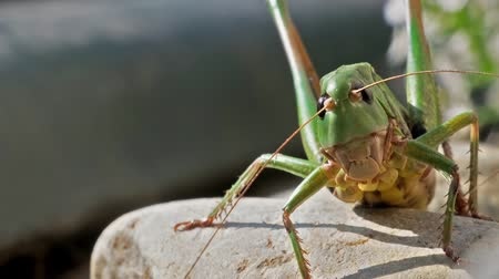 grasshopper : Big green Grasshopper on the snone Stock Footage