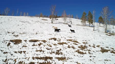 beygir gücü : horses graze in the winter on a snowy slope