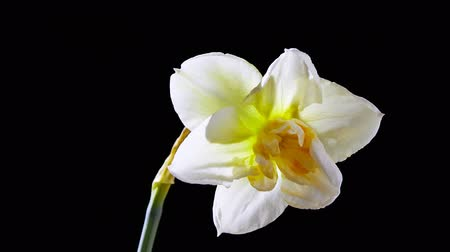 narciso : Opening Narcissus Flower on black background