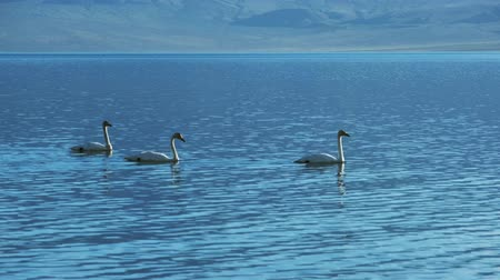 moğolistan : Two teenagers swans in Lake Tolbo Nuur in Western Mongolia