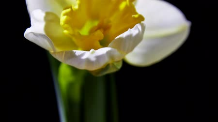 Opening Narcissus Flower on black background