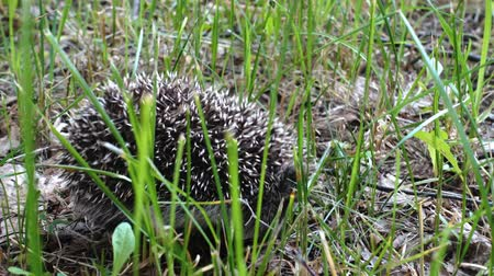 Wild hedgehog walks on green grass. Hedgehog in the nature Wideo