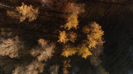 Top view on the yellow autumn forest Wideo