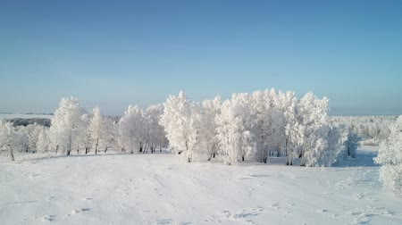 Snow White Birch Forest Covered With Hoarfrost.