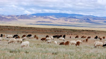 anyajuh : Herd of sheep and goats grazing on the meadow field on the mountains background. Western Mongolia. Stock mozgókép