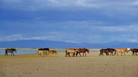 Herd Horses On Watering Place. West Mongolia