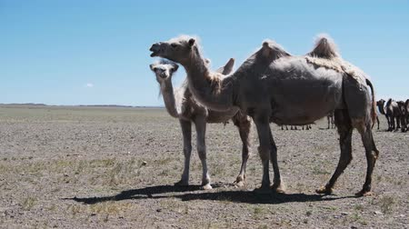 Bactrian camels in mongolian stone desert. Western Mongolia. Stok Video