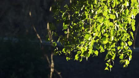the light of the sun through the birch leaves during the summer Wideo