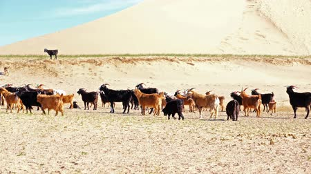 A herd of goats grazes on the border of the sandy desert. Mongol-Els, Western Mongolia.