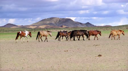 potro : Horses Herd Grazing in Dry Landscape in Western Mongolia