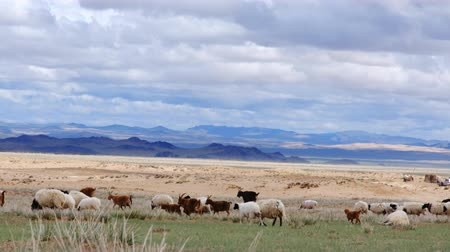 moğolistan : Herd of sheep and goats grazing on the meadow field on the mountains background. Western Mongolia. Stok Video