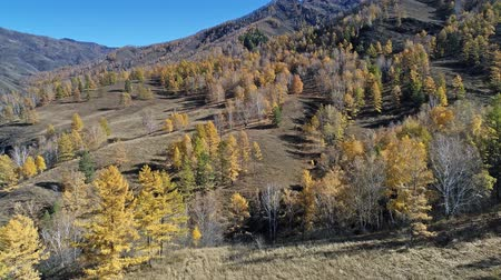 Aerial view of autumn larch forest on a mountainside