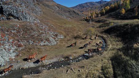Altai Mountains, the horses grazing in the valley of river