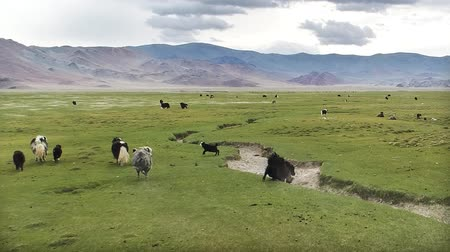 horned : A herd of yaks (Bos mutus) in a pasture in Western Mongolia. Aerial view