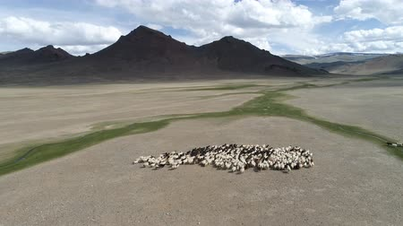 Drone flying over a flock of sheep, steppes landscape. Dry mountains in background. Western Mongolia, low altitude flight Wideo