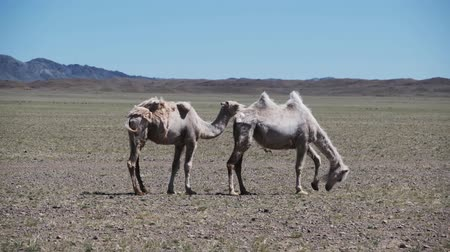 Two camels graze in the stobe desert of Western Mongolia Stok Video
