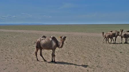 Bactrian camels in mongolian stone desert. Western Mongolia. Wideo
