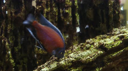Underwater footage of tropical fish. Tropical cichlids in aquarium.