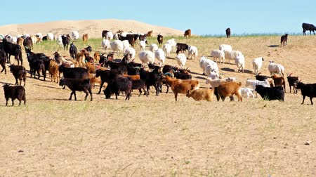 Goats graze on mountain steppe pasture in western Mongolia Stok Video