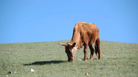 A cow grazes on a hillside against a blue sky. Khovd province, Western Mongolia.