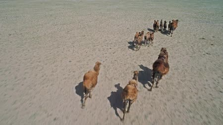 Herd camels graze in the stone desert of Western Mongolia