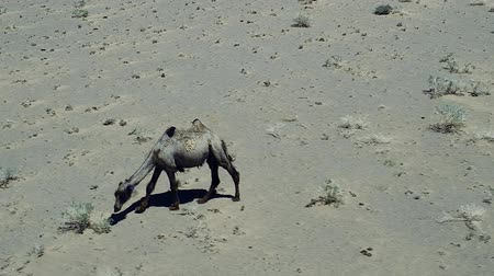 A camel graze in the stone desert of Western Mongolia