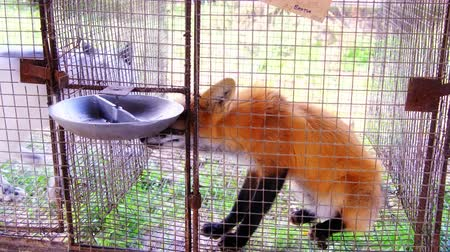 Young fox in the cage