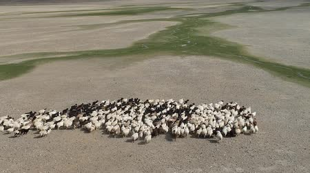 Drone flying over a flock of sheep, steppes landscape. Dry mountains in background. Western Mongolia, low altitude flight Stok Video
