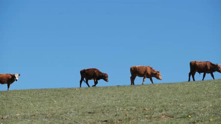buzağı : calf grazes in a green meadow