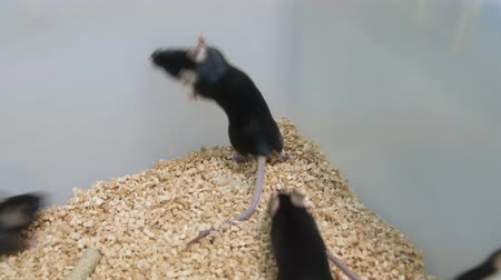 black mice in a plastic lab cage