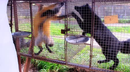 female hand caresses the little fox in the cage