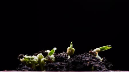 fertility : Mung beans germination on black background. Timelapse 4K Stock Footage