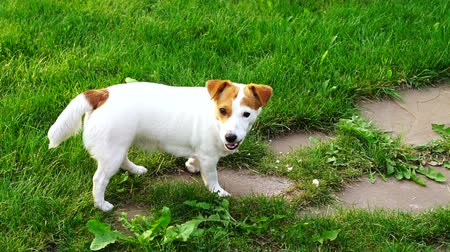 terier : Lovely dog ??looking for a treat and looking at the camera, funny Jack Russell